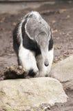 jätte- myrmecophagatridactyla för anteater Royaltyfri Fotografi