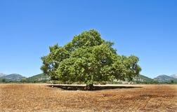 jätte- oak Arkivfoton