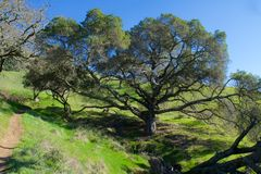 jätte- oaktree Arkivfoton