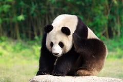 jätte- panda Royaltyfri Bild