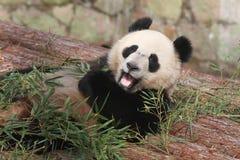 jätte- panda Fotografering för Bildbyråer