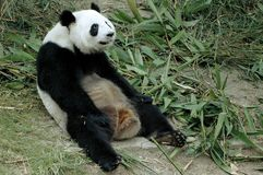 jätte- panda Royaltyfria Foton