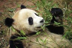 jätte- panda Royaltyfri Fotografi