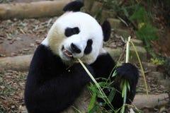Jätte- panda 5 Arkivbilder