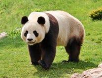 jätte- panda Arkivfoto
