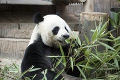 jätte- panda Arkivbild