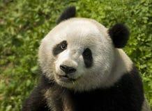 jätte- panda Royaltyfria Bilder