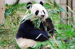 Jätte Panda Eating Bamboo, Chengdu Kina royaltyfri bild