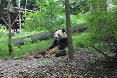 Jätte- panda för frukost, Chengdu Kina Royaltyfria Foton