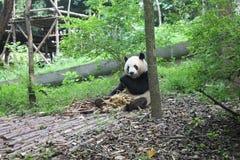 Jätte- panda för frukost, Chengdu Kina Arkivbild
