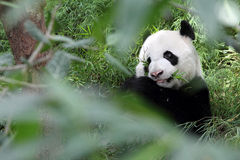 Jätte- panda i skogen Arkivfoto