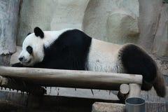 Jätte- panda i Thailand arkivfoton