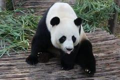 Jätte- panda i Thailand fotografering för bildbyråer