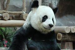Jätte- panda i Thailand royaltyfria foton
