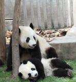 Jätte- panda med dess gröngöling arkivbild