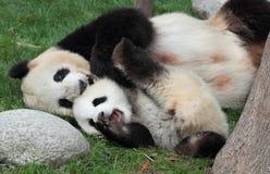 Jätte- panda med dess gröngöling Arkivfoton