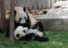 Jätte- panda med dess gröngöling Royaltyfria Foton