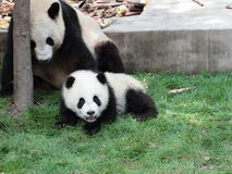 Jätte- panda med dess gröngöling Royaltyfri Bild