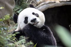 Jätte- panda som äter bambuzoo Singapore Arkivbilder