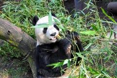 Jätte- panda som har lunch på den San Diego zoo Arkivfoto