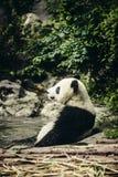 Jätte- panda som vilar i vatten Arkivfoto