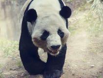 Jätte- pandabjörn royaltyfria bilder