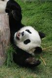 Jätte- pandabjörn (ailuropodaen Melanoleuca), Kina Royaltyfri Bild