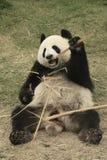Jätte- pandabjörn (ailuropodaen Melanoleuca), Kina Arkivfoton