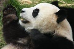 Jätte- pandabjörn (ailuropodaen Melanoleuca), Kina Arkivfoto