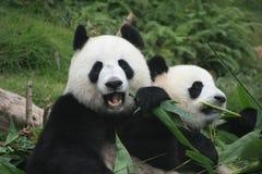 Jätte- pandabjörnar (ailuropodaen Melanoleuca), Kina Arkivfoto