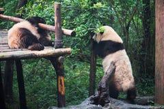 jätte- pandas som leker två Royaltyfri Bild