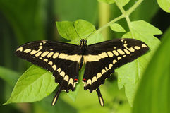jätte- papilioswallowtail för cresphontes Arkivfoto