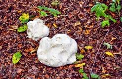 Jätte- puffball, Calvatiagigantea, syn Langermannia gigantea, Lycoperdongigantea, Bayern, Tyskland, Europa fotografering för bildbyråer