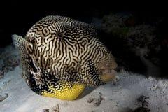 Jätte- pufferfisk Royaltyfria Foton