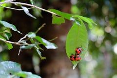 jätte- röda skalbaggar i regnskogen Arkivbild