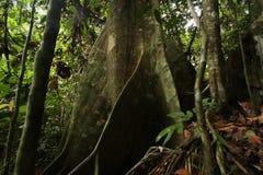 Jätte- rainforestträd Arkivbild