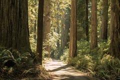 Jätte- redwoodträd av nordliga Kalifornien Arkivfoton