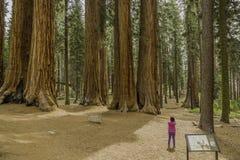 Jätte- redwoodträd i sequoianationalpark arkivfoton
