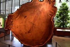 Jätte- redwoodträd på Acadamy av vetenskapsGolden Gate Park, 2 arkivbild