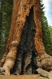Jätte- redwoodträdträd Arkivfoton