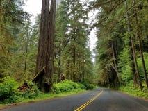 Jätte- redwoodträdträd längs avenyn av jättarna Arkivbild