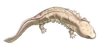 jätte- salamander royaltyfri illustrationer