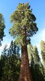 jätte- sequoia Arkivbild