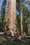 Jätte- sequoia i Kalifornien Fotografering för Bildbyråer