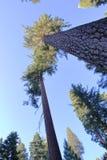 Jätte- sequoia - Yosemite parkera - Kalifornien Fotografering för Bildbyråer