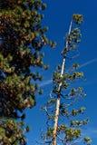 jätte- sequoias yosemite Royaltyfri Foto