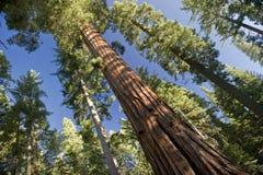 jätte- sequoiatree Arkivfoto