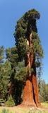jätte- sequoiatree Fotografering för Bildbyråer
