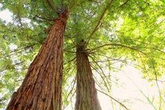jätte- sequoiatrees Royaltyfri Bild