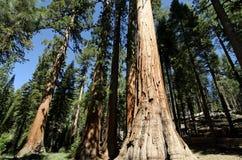 jätte- sequoiatrees yosemite Fotografering för Bildbyråer